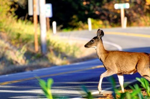 DEER SAFETY: AVOID A COLLISION IN ARKANSAS